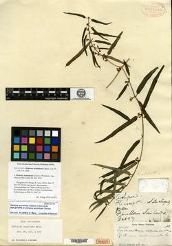 Image of Matelea acuminata