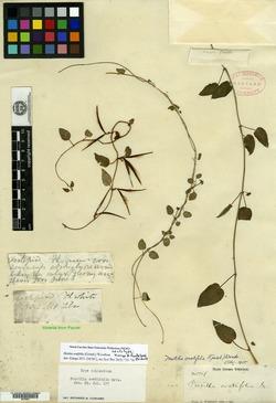 Image of Matelea ovatifolia
