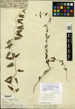 Image of Matelea tamnifolia