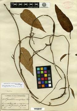 Image of Matelea variifolia
