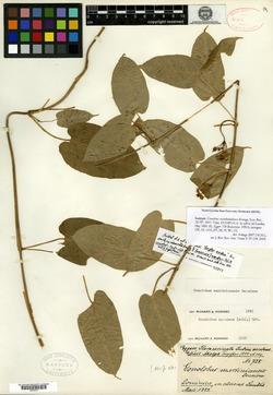 Image of Gonolobus waitukubuliensis