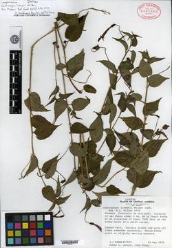 Centropogon luteynii image