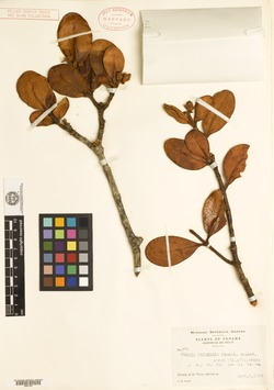Image of Clusia coclensis