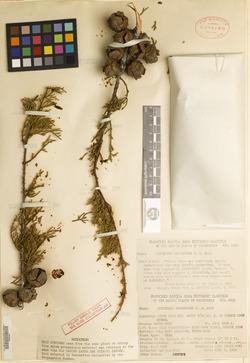 Image of Cupressus abramsiana
