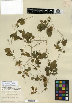 Cyclanthera micrantha image