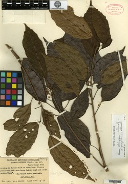 Sloanea schippii image