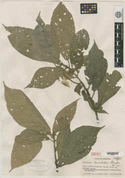 Image of Acalypha lancetillae