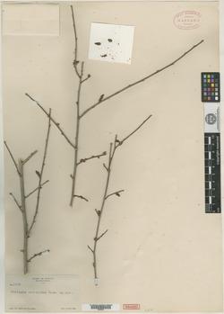 Image of Acalypha coryloides