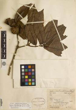 Quercus insignis image