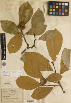 Quercus liebmannii image