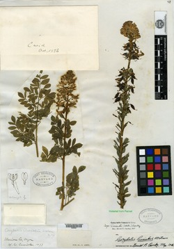 Image of Corydalis cusickii