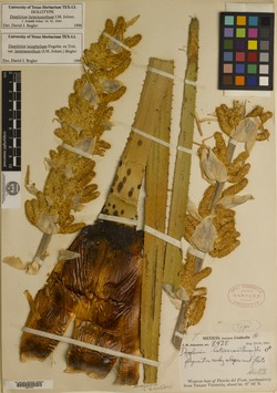 Dasylirion heteracanthum image