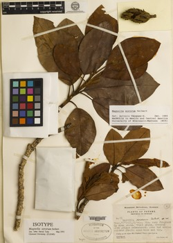 Magnolia sororum image