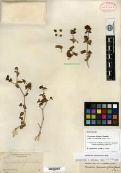 Image of Hesperonia heimerlii