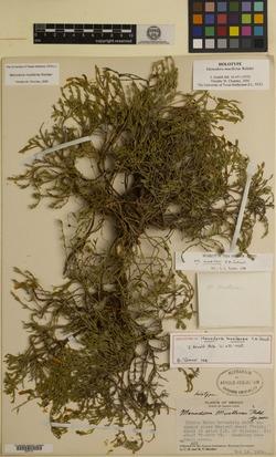 Image of Menodora muellerae