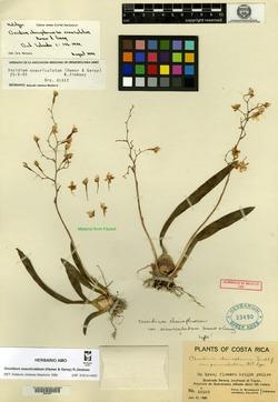 Oncidium cheirophorum image