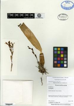 Trichosalpinx dura image
