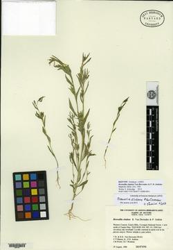 Browallia eludens image