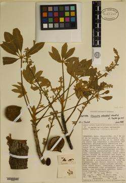 Image of Sterculia xolocotzii