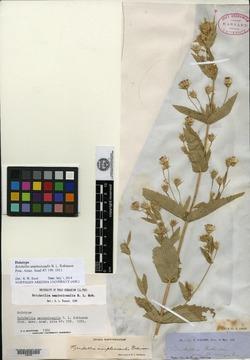 Brickellia amplexicaulis image