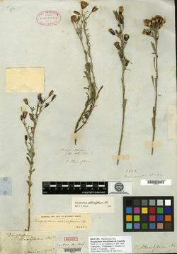 Porophyllum coloratum image