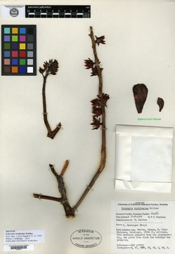 Image of Echeveria viridissima