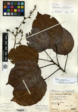 Alchornea latifolia image