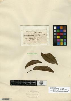 Image of Alchornea integrifolia