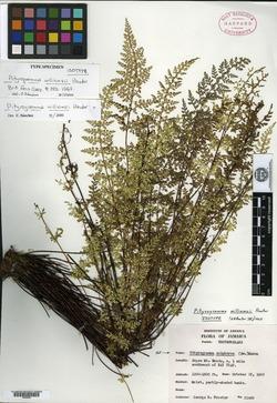 Image of Pityrogramma williamsii