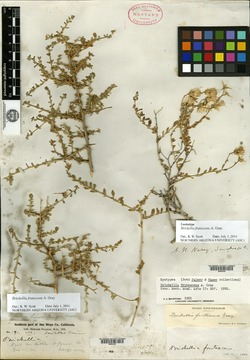 Brickellia frutescens image