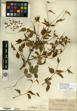 Image of Croton furcellatus