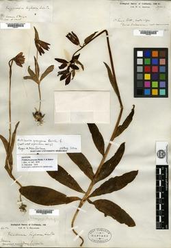 Image of Fritillaria grayana