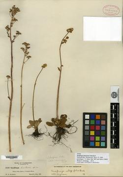 Image of Saxifraga bracteosa