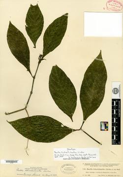 Ruellia tubiflora image