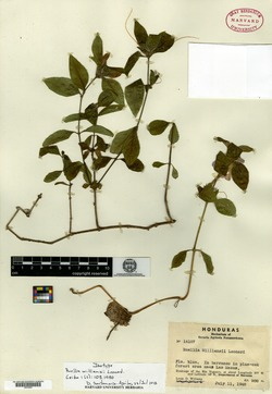 Image of Ruellia hookeriana