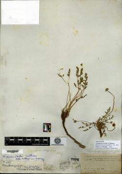 Cymopterus nivalis image