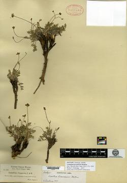 Lomatium greenmanii image