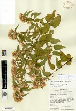 Image of Ageratina cronquistii
