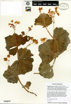 Image of Begonia tlapensis
