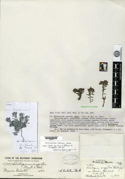 Image of Heliotropium limbatum