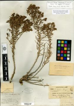 Image of Andropus carnosus