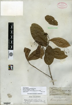 Sloanea terniflora image