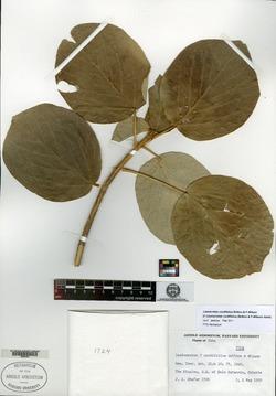 Image of Leucocroton cordifolius