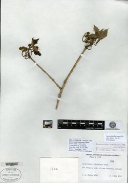 Image of Leucocroton bracteosus
