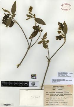Image of Bernardia trelawniensis