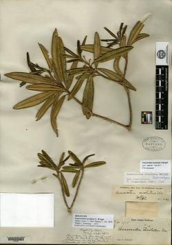 Image of Leucocroton revolutus