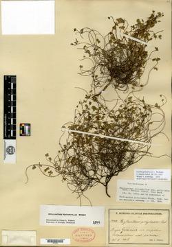 Image of Phyllanthus polycladus