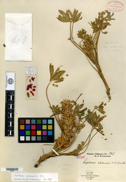 Lupinus chilensis image