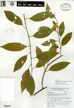 Image of Aiouea cinnamomoidea
