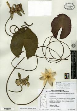 Image of Nymphaea loriana